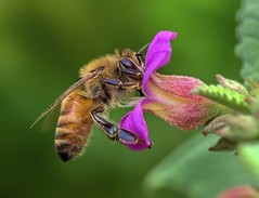 Honey Bee Nectaring on Melochia Tormentosa Flower, Fairchild Tropical Botanic Garden. (pedro lastra) Tags: macro field animal insect nikon outdoor bee honey d750 tamron 90mm vc depth apis mellifera macroactionphotography