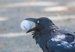 Australian raven (Corvus coronoides)-1584-2 (rawshorty) Tags: birds australia canberra act symonston rawshorty