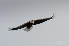 Majestic Bald Eagle flybys