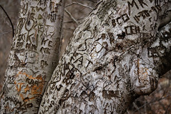 Tree Tattoo (Photos By Bill in WV) Tags: wood man tree art love nature forest outdoors woods carving carve bark trunk names root initials