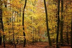 Herbstlicher Buchenwald an der Feuchtwiese am Baccumer Berg; Lingen, Baccumer Wald (12) (Chironius) Tags: lingen baccumerwald baccumerforst wald emsland germany deutschland niedersachsen allemagne alemania germania германия lingenerhöhe herbst herfst autumn autunno efteråret otoño höst jesień осень baum bäume tree trees arbre дерево árbol arbres деревья árboles albero árvore ağaç boom träd buche fagus rotbuche faia kayın beuken бук bok gegenlicht rosids fabids buchenartige fagales buchengewächse fagaceae fagoideae buchen landschaft forest forêt лес bosque skov las