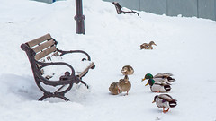1777 (BLEUnord) Tags: winter snow bench hiver ducks neige banc canards
