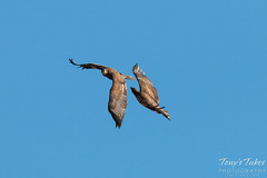 Juvenile Bald Eagles Play in the Sky Sequence - 1 of 10