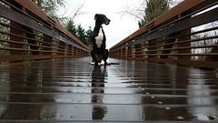 6.52.2015 Rain Rain (kmmorgan1977) Tags: winter oregon flood greatdane forestgrove pineappleexpress 52weeksfordogs kkzsapachevegasrose bstreettrail