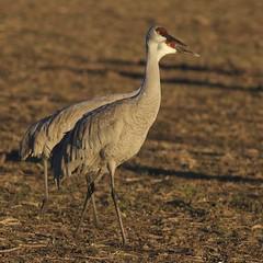 Sandhill Cranes (fruitcrow) Tags: birds cranes