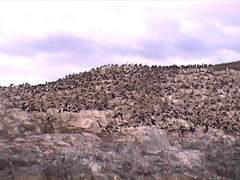 Large Cormorant Colony