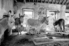 Donkeys, Blasket Island, Co.Kerry (shaymurphy) Tags: county ireland irish house abandoned island forsale donkeys irland eire kerry buy asses mules purchase irlanda irlande blasket irska  irlandia redbubble