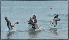 Which-one-will-catch-the-fish_DSC5872 (Mel Gray) Tags: pelicans water birds newcastle carrington boatharbour