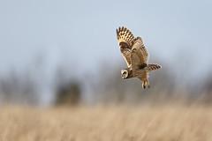 Short-eared Owl (Glen Pardoe Photography) Tags: seo shortearedowl asioflammeus ef600mmf4lisusm canoneos1dx