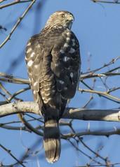 Sharp-shinned hawk (JME_Photos) Tags: nature birds canon hawk wildlife nevada flight henderson 400mm