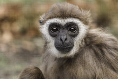 Withandgibbon (Lar Gibbon) 1255 (bzd1) Tags: nature animal natuur dieren dier animalia mammalia primates ouwehands gibbons hylobates chordata primaten zoogdieren hylobatidae withandgibbon largibbon hylobateslar chordadieren rhenenouwehand