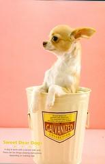 Chi in a Cup (Calsidyrose) Tags: dog chihuahua cute cup paper notebook puppy japanese ephemera chi tiny kawaii squee cutenessoverload