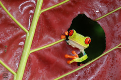 """Were you looking for me?"" (Megan Lorenz) Tags: travel wild macro nature rainforest wildlife amphibian frog getty february treefrog redeyedtreefrog 2015 mlorenz meganlorenz"