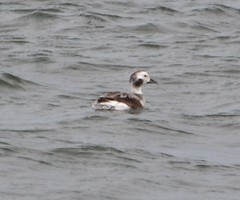 Long-tailed Duck (Clangula hyemalis)(Photo #3) (soniknate) Tags: road old usa bird tampa bay duck state florida courtney campbell sr 60 causeway clearwater longtailed sr60 clangula hyemalis oldsquaw