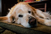IMG_9014.jpg (VoelkSwaggin) Tags: dog dogs goldenretriever canon golden sleepy canonefs1855 vsco canoneos7d canonefs1855mmf3556is canon7d