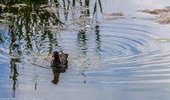 9Q6A2392 (2) (Alinbidford) Tags: heron kingfisher muteswan moorhen greyheron brandonmarsh alancurtis pairofkingfishers alinbidford