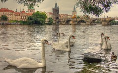 River Vltava (**StereoDee**93) Tags: rivervltava charlesbridge prague praha czechrepublic swans birds wildlife fujifilm a170a180 kampa novemesto