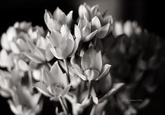 (IMAphotoArt) Tags: fiori bianconero monocromo bokeh pianta calma