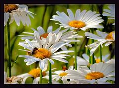 Sunday-Flowers (karin_b1966) Tags: plant flower nature garden blossom natur pflanze blume blüte garten 2016 margeriten yourbestoftoday