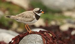 Ringed Plover (Charadrius hiaticula) perched on a rock with a seaweed wig. (Sandra Standbridge.) Tags: ringedplover charadriushiaticula bird animal rocks seaweed northuist scotland wildandfree outdoor