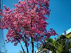 (vitinhoscrates) Tags: flowers flor flores flower tree rvore rvores rosa pink sunset sunshine sun horizon ensolarado sky riodejaneiro rj brazil brasil southamerica americadosul