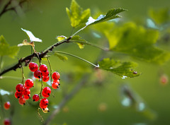 Red currant (Lena_CS) Tags: berries redcurrant currant red nature 6d canon