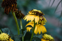 they came out of the darkness (Dotsy McCurly) Tags: yellow flowers nature beautiful bokeh dof darkness nikon d750 nj light