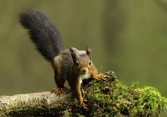Oh no. She's seen me! (Ruth Hayton) Tags: red wild nature scotland squirrel wildlife vulgaris sciurus
