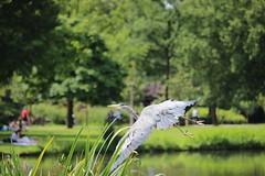 Graureiher - Vondelpark Amsterdam (ares64) Tags: amsterdam vgel reiher