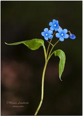 _DSC8802 - 25 04 2012  Non ti scordar di me. (maurob_1454) Tags: nontiscordardime fiorelliniblu myosotis orecchioditopo erbasacra fiori