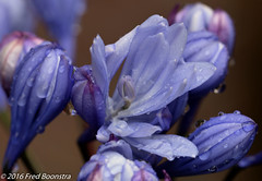 IMG_0458pc (A.J. Boonstra) Tags: agapanthusflorepleno agapanthus waterdrops garden flowers closeup ef100mmf28lmacroisusm canon70d
