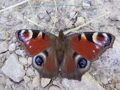 Paon du jour (Aglais io) (Didier Auberget Photographie) Tags: macro insecte insecta endopterygota lepidoptera lpidoptre nymphalidae nymphalinae nymphalini aglais aglaisio nymphalisio vanessaio inachisio paondujour papillon butterfly peacock vanesse