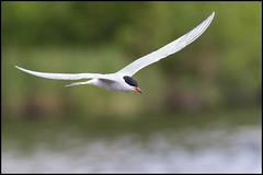 Common Tern (John R Chandler) Tags: uk bird animal inflight unitedkingdom places coventry tern westmidlands warwickshire commontern brandonmarsh warwickshirewildlifetrust wildlifeassociatedmiscellaneous