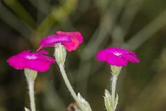 Floral Friday (Nick.Ramsey) Tags: canonef100mmf28lmacro eos7dmarkii flower macro nickramsey plant pink purple three 7dwf fridayflora flora