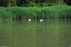 Peace (picturesbywalther) Tags: peace friede nature swan schwan schwne aare river fluss bern outdoor animals tiere