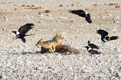 Attack of the Crows (richardkt4545) Tags: crow pied jackal black backed spotted hyena desert kill bird wildlife prey etosha namibia africa afrika fly run animal predator
