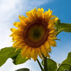 Colourful Times! (Myanoli) Tags: colours world farben welt sonnenblume sunflower natur nature blume flower frieden peace canon 70d