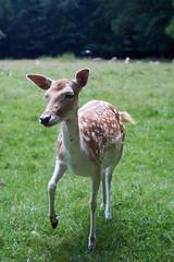 Deer (rojkov.dmitry) Tags: ifttt 500px deer animal wildlife germany green animals wild grass