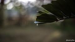 IMG_7916 (shitabhpillai) Tags: bokeh tree leaf rain rainy season water drop shine canon 6d prime lens 50mm kerala india photography backwaters lightroom
