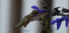 Hummingbird in Flower_0488 (Porch Dog) Tags: 2016 garywhittington kentucky nikond750 nikon200500mm nature stewartfarmsdaylillies hummingbird blooms blossom wildlife feathers