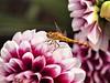 003Common Darter (saxonfenken) Tags: pregamewinner dahlia flower purpleandwhite darter insect ruleofthirds 6945 challengeyouwinner 6945insect cy2 gamewinner