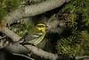 Townsend's Warbler (Happy Photographer) Tags: grand mesa national forest townsendswarbler warbler yellow summer amyhudechek
