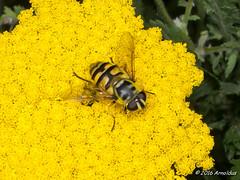 P8071049 - Doodskopzweefvlieg ( Myathropa florea ) - Myathropa florea (Arnoldus1942) Tags: arnosync achilleafilipendulina hoverfly zweefvlieg