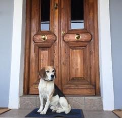 """La Vieille Garde"" (patatoukou) Tags: mojito dog beagle"