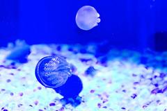 Blue Jelly of Shinagawa Aquarium :  (Dakiny) Tags: japan tokyo shinagawa shinagawaku katsushima city street park shinagawakuminpark aquarium shinagawaaquarium creature animal fish jellyfish colorjelly bluejelly blue macro bokeh nikon d7000 nikkor 35mm f18g afsdxnikkor35mmf18g nikonafsdxnikkor35mmf18g nikonclubit