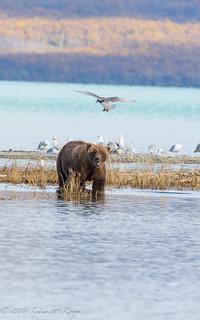 Birds Bears Lake Alaska