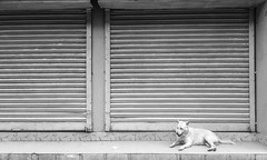Dhaka Street #72 White ( ) Tags: dhaka dog shutter shop bangladesh dhakastreet999 day 2016 mycity symphonyw68 mobilephotography mobile ihavenocamera iampoor sitting 5mp phone