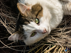 2016 - 2point0, tel est est son nom (bDom [+ 36.000 photos for blog]) Tags: 2point0 animaux chat flin mammifre nature october octobre