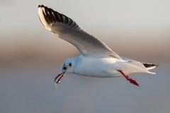 rdm-oiseaux.jpg (daniel rusinowicz) Tags: mouette mouetterieuse oiseaux