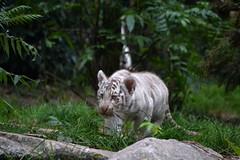 (paulined_) Tags: zoo enclos amnville lorraine extrieur babytiger tigreblanc tigre animal